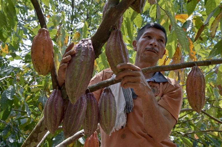Tumaco produce uno de los mejores cacaos del mundo