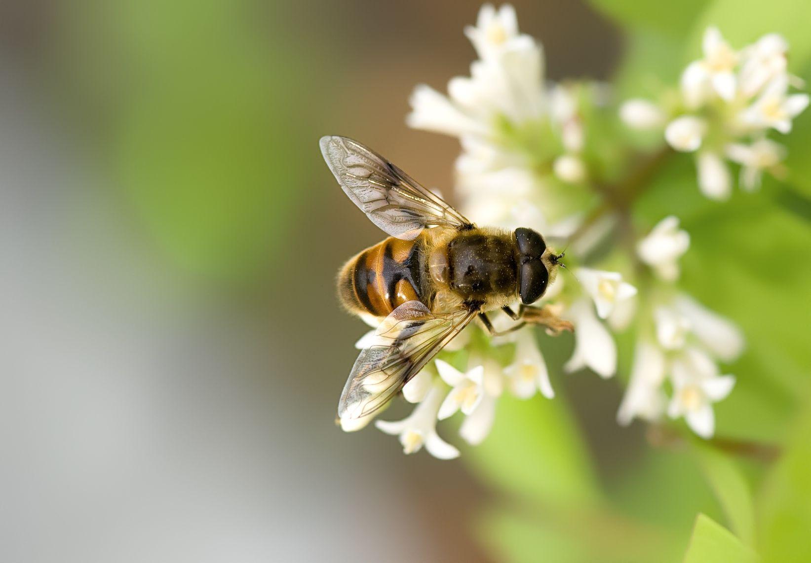 ¿Por qué si las abejas desaparecen está en riesgo nuestra vida?