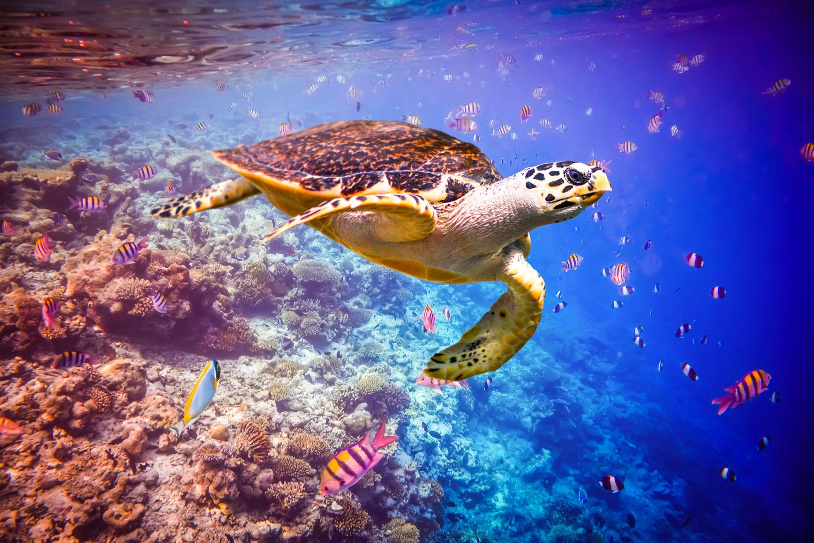 tortuga carey animales marinos caribe colombiano - 123rf
