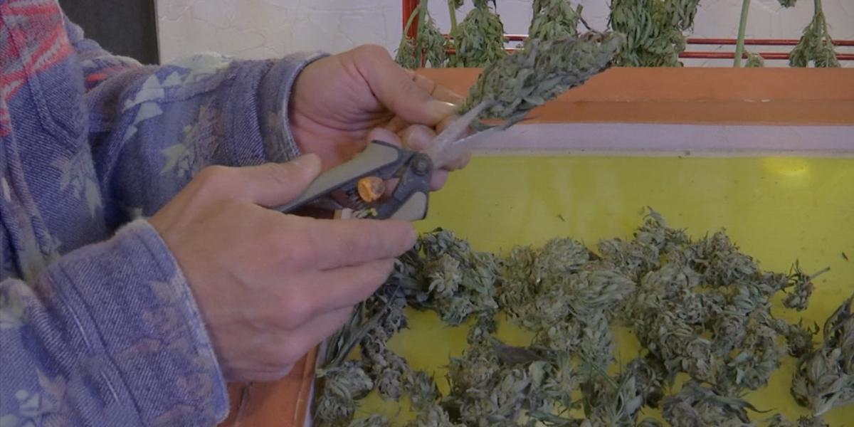 Colombia podrá tener el 10 % de exportaciones mundiales de marihuana medicinal