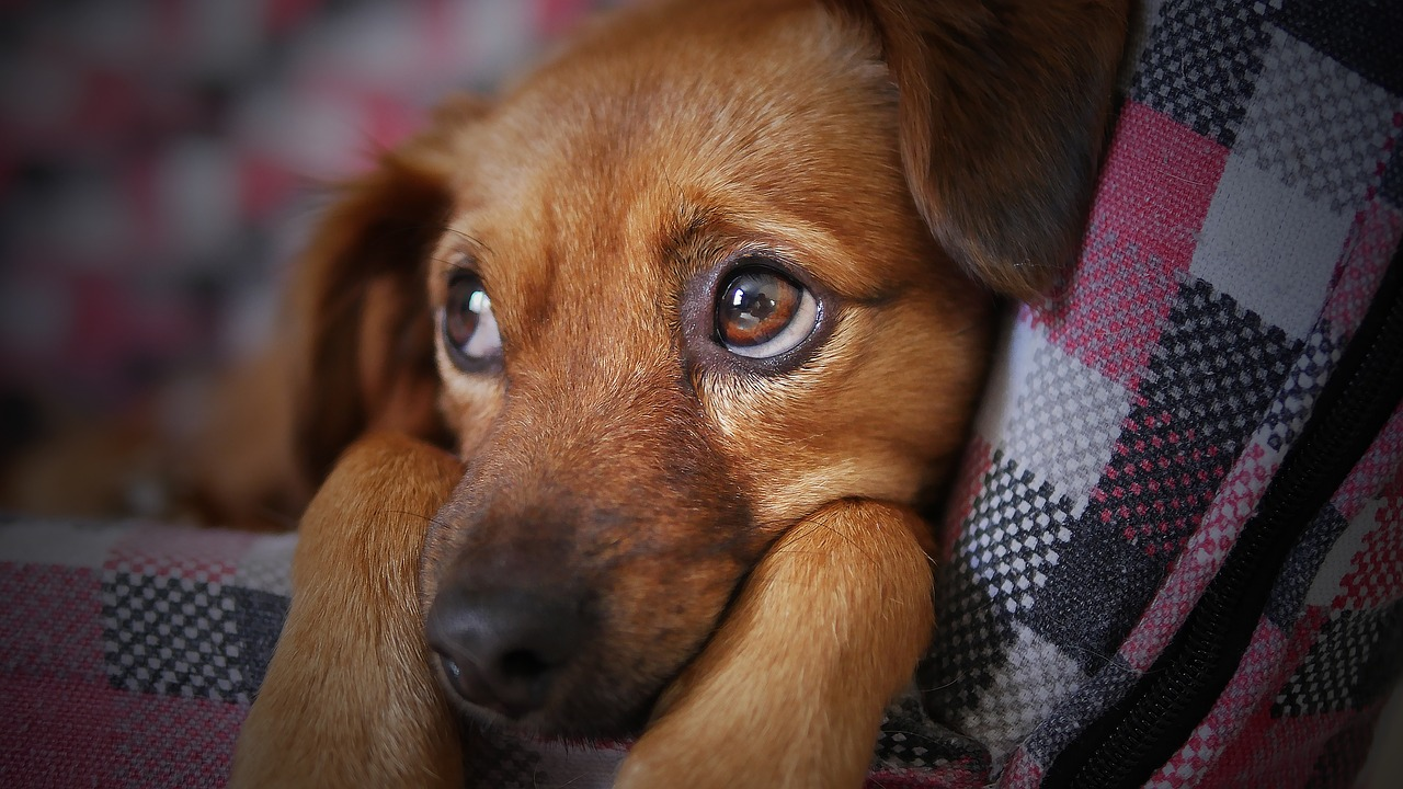 perro mascota triste robada hurtada universidad central pixabay moshehar cc0