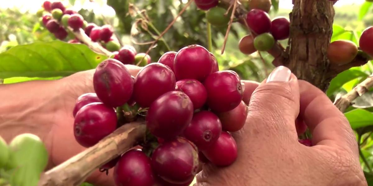 Producción cafetera se recupera en abril y crece 5 %