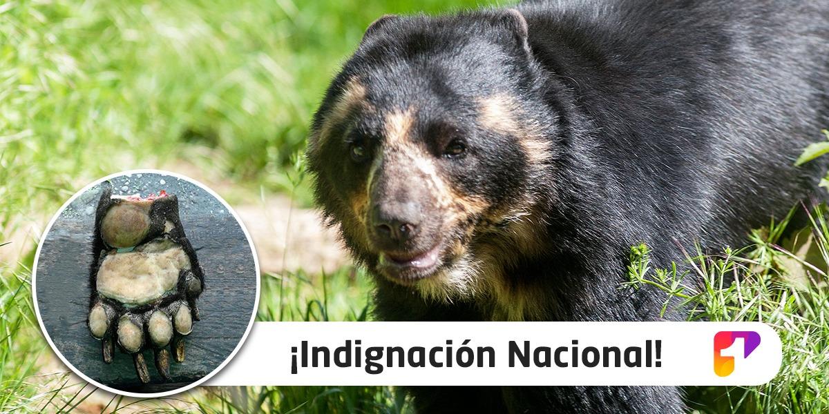 Se inician investigaciones por atroz descuartizamiento de oso de anteojos