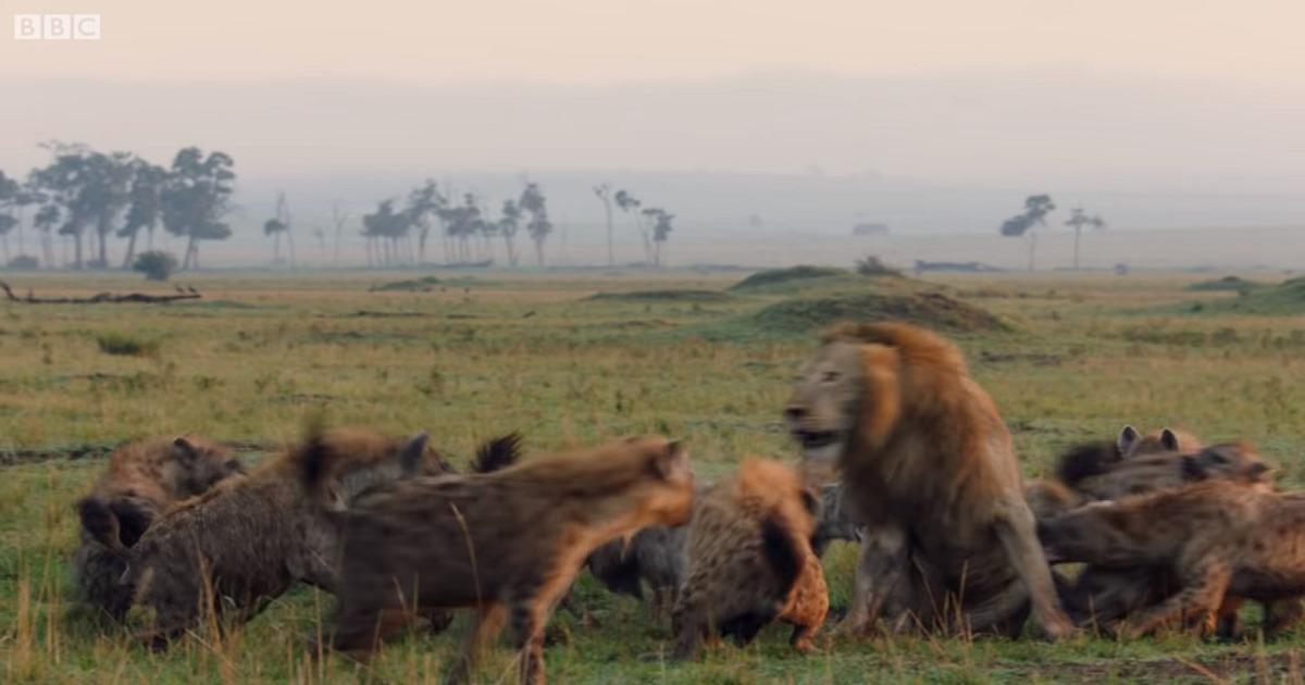 ¡Qué ternura! Así le agradeció un león a otro por salvarlo de morir en un ataque de hienas