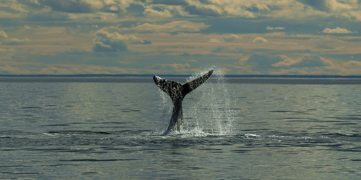 ballenas jorobadas antartida