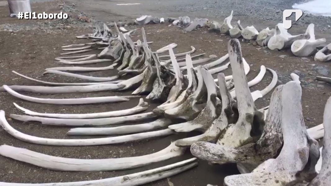 huesos de ballena en la antartida