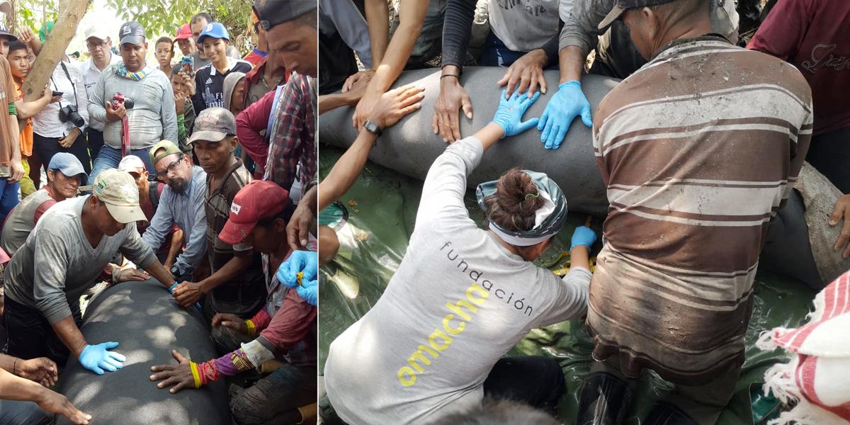Rescatan cuatro manatíes atrapados en una ciénaga por fuerte temporada seca en Aguachica, Cesar