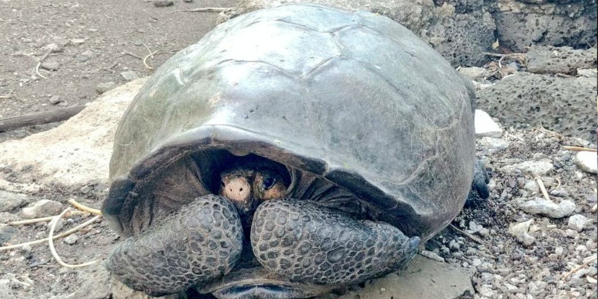 Aparece hermosa tortuga gigante considerada extinta hace 100 años