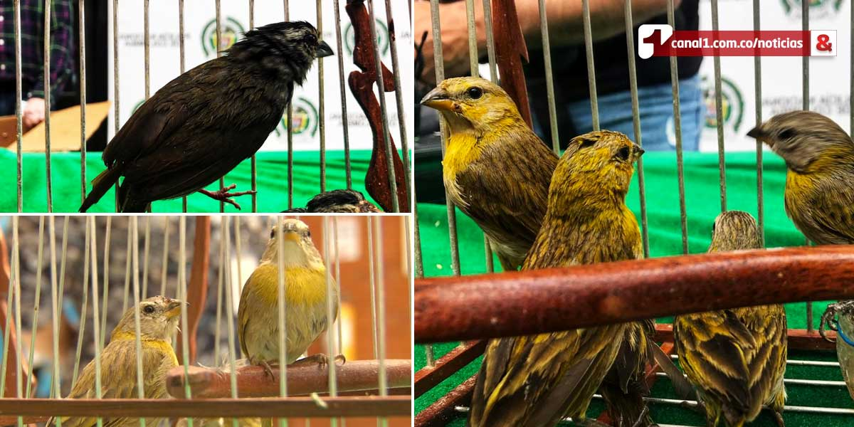 Incautan 15 aves silvestres en el Aeropuerto El Dorado