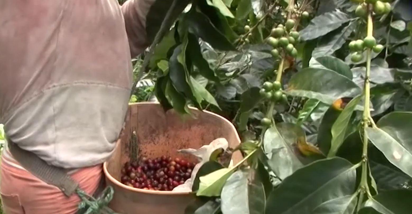 Producción de café crece 5,4 % en primer semestre del año