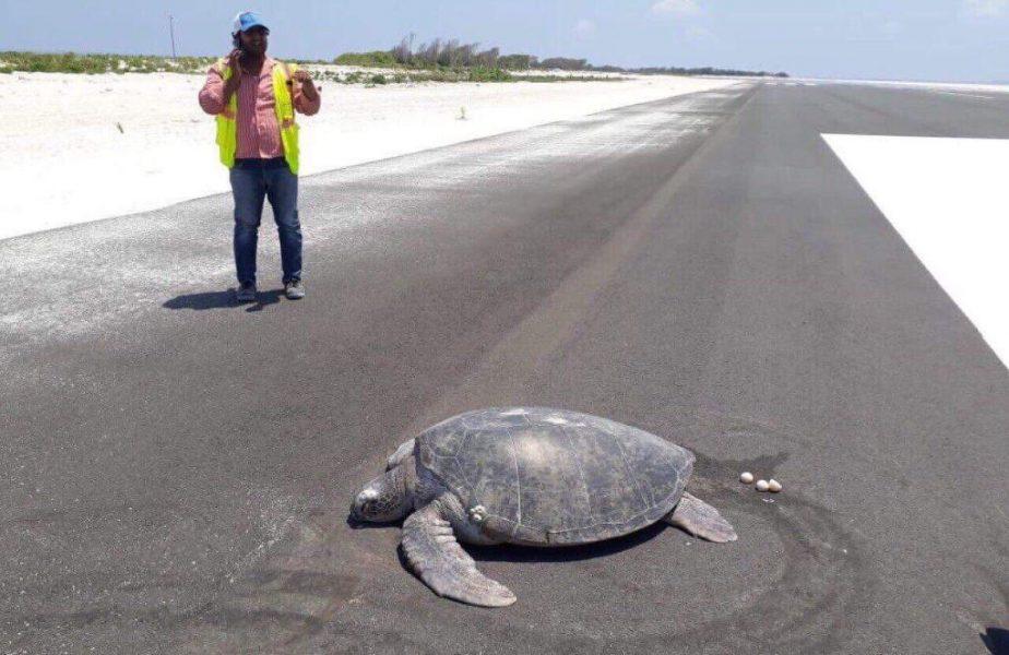 Desoladora escena de tortuga marina poniendo huevos en el asfalto donde antes había una playa