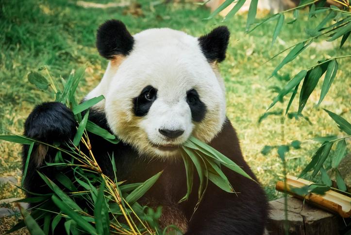 (Foto) ¡Increíble! Investigadores lograron fotografiar un oso panda albino en libertad