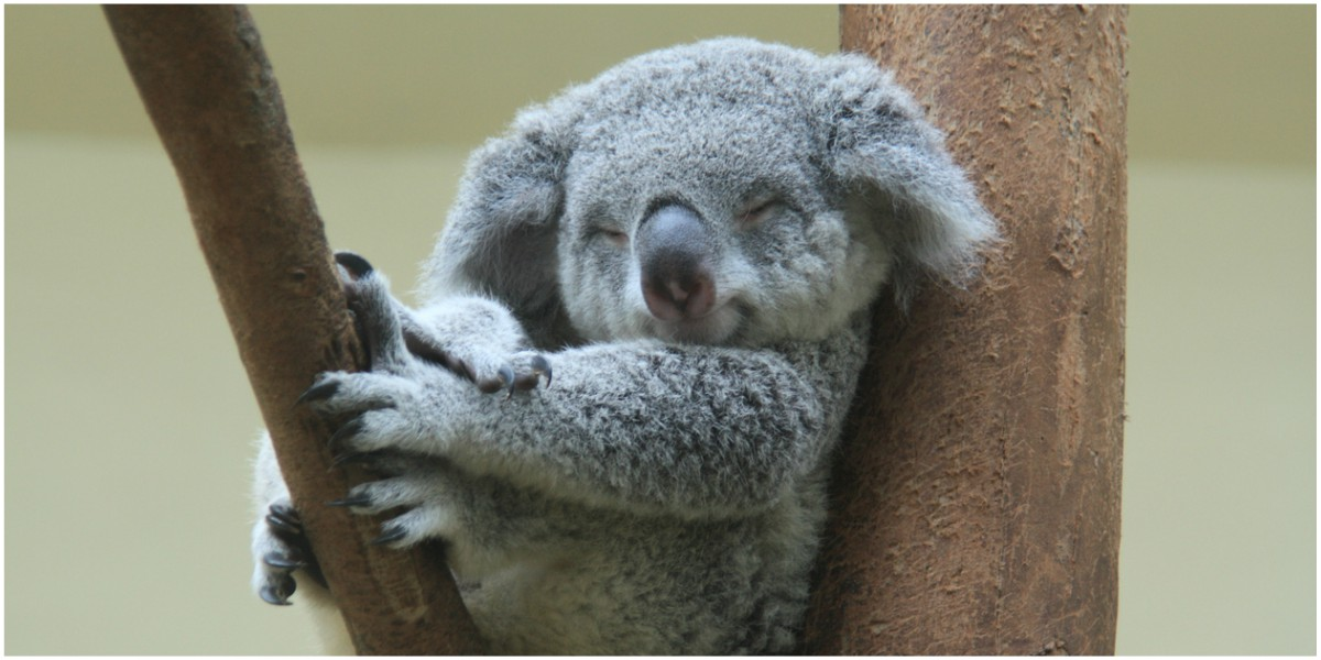 koala funcionalmente extinto verdadera historia