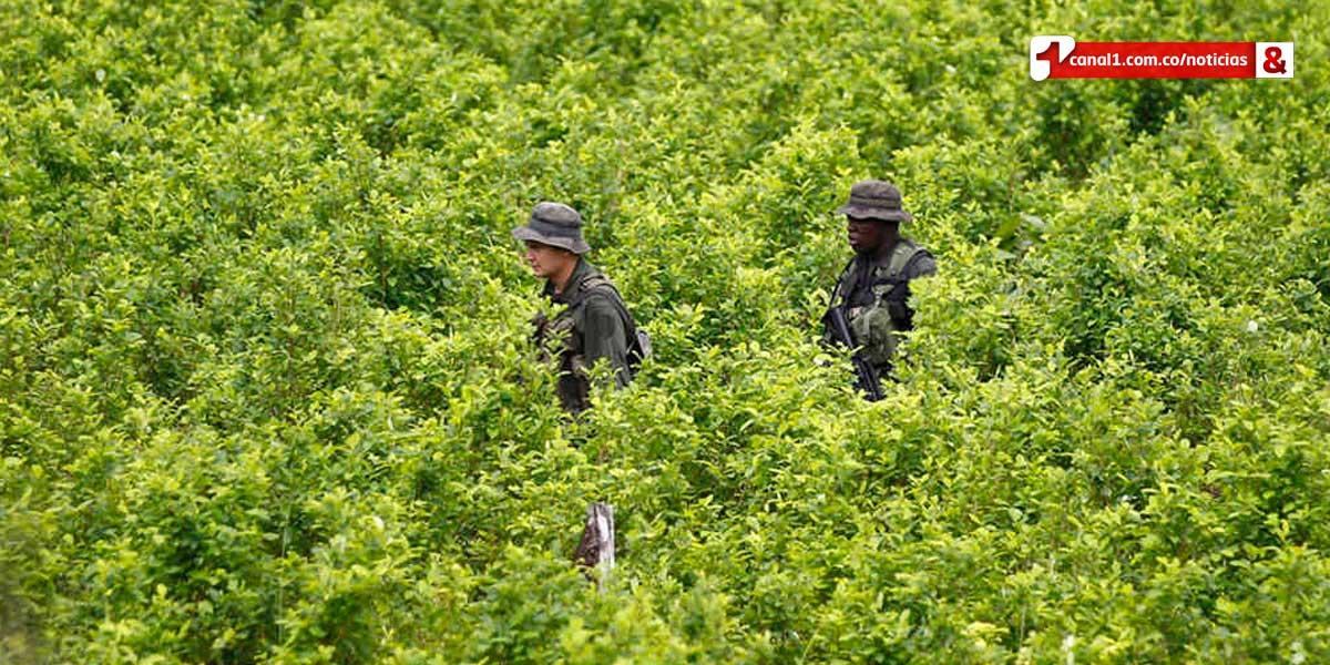 Se estabilizan cultivos de coca en Colombia: Casa Blanca