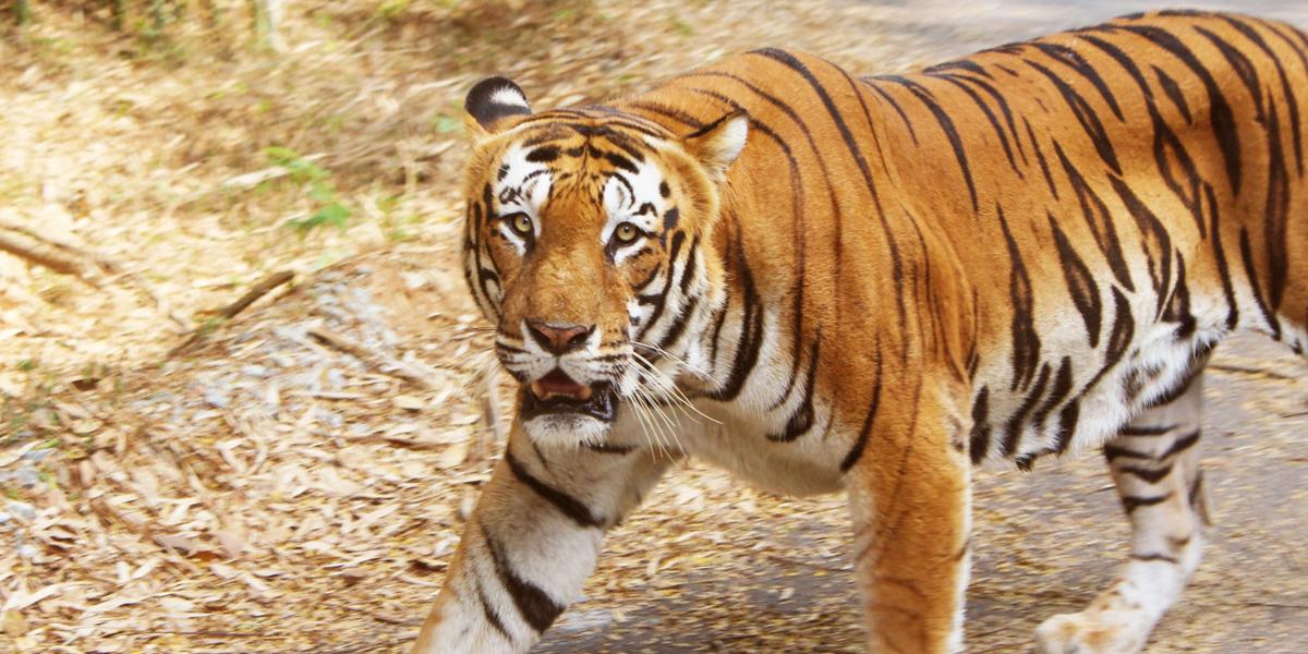 India duplica con casi 3000 tigres, ejemplares en vía de extinción
