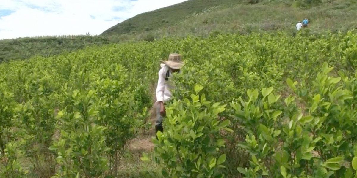 Erradicación de coca sube pero también crece la resiembra
