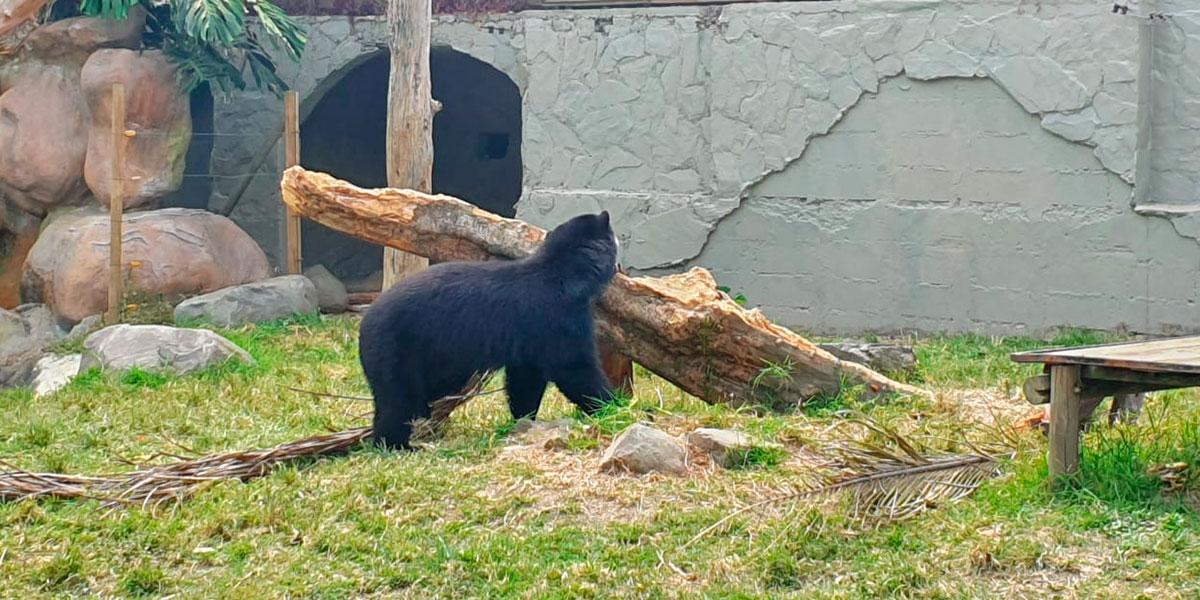 Abogado pide liberación inmediata de 'Remedios', un oso de anteojos