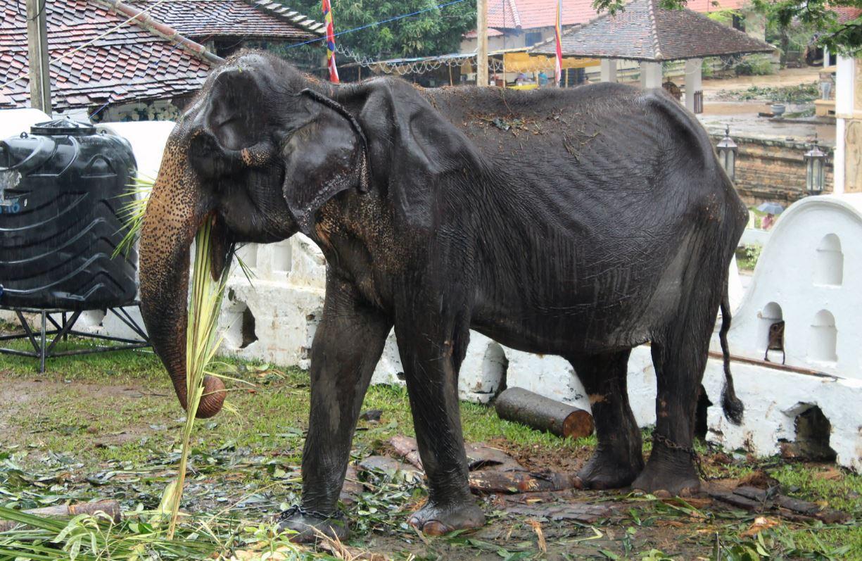 Fotos de elefante raquítico obligado a trabajar en festival genera indignación mundial
