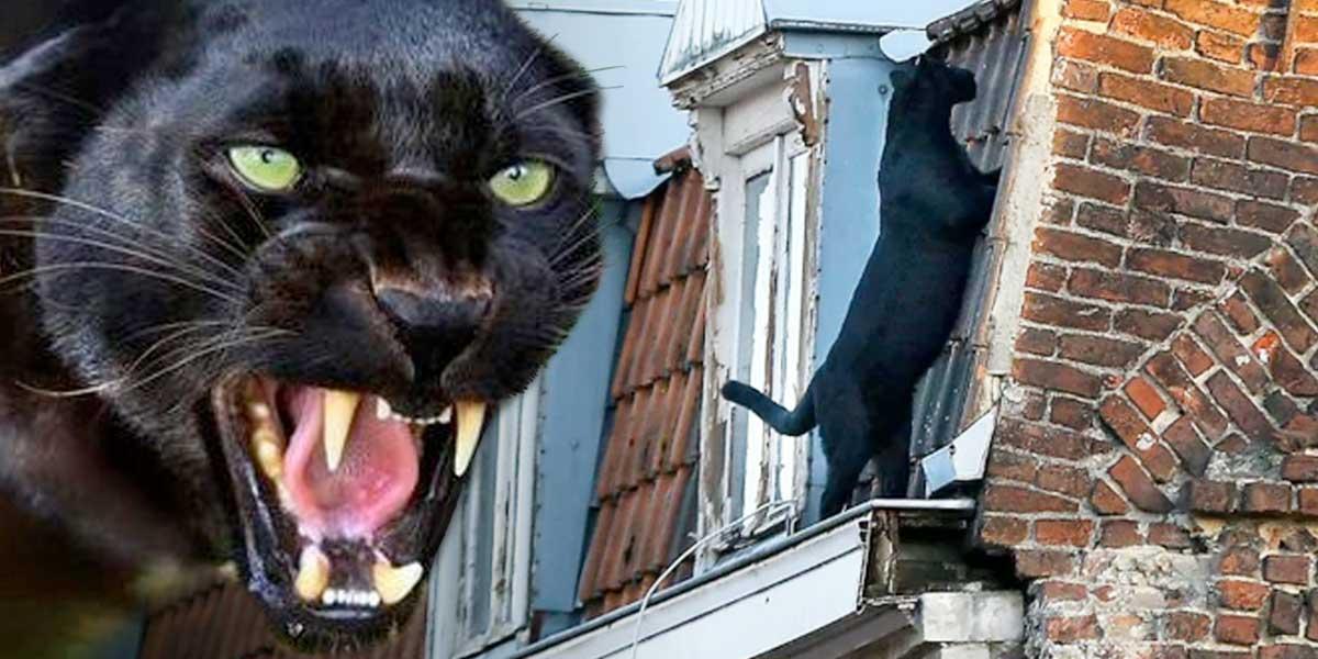"""La pantera que se paseaba por los techos como un """"gatito"""" doméstico en Francia"""