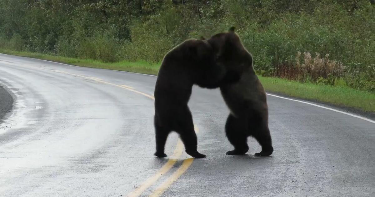Impresionante pelea de dos osos en plena calle alcanza millones de reproducciones