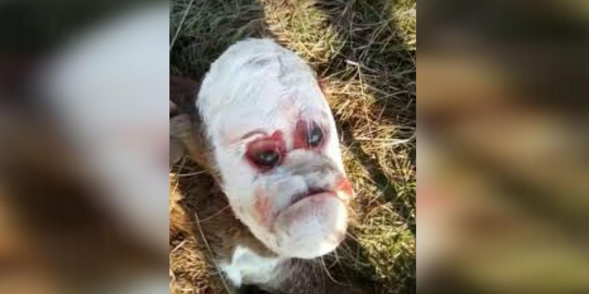 (VIDEO) El misterioso caso del ternero que nació con cara de humano