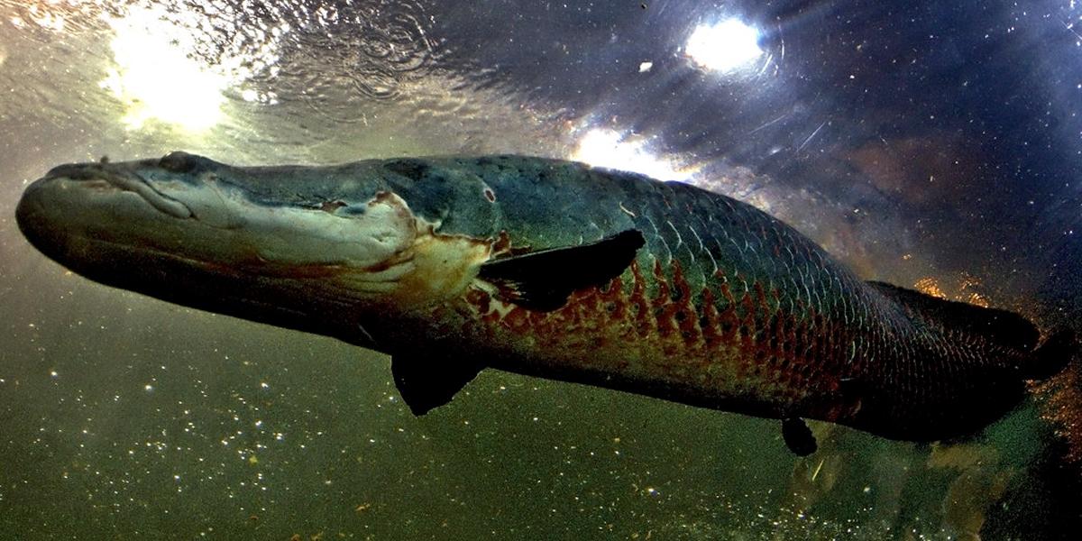Descubren en la Amazonía un pez gigante que tiene escamas resistentes a mordeduras de pirañas