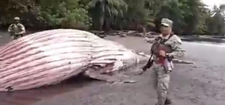 Un ballenato murió en Chocó luego de enredarse con una malla plástica