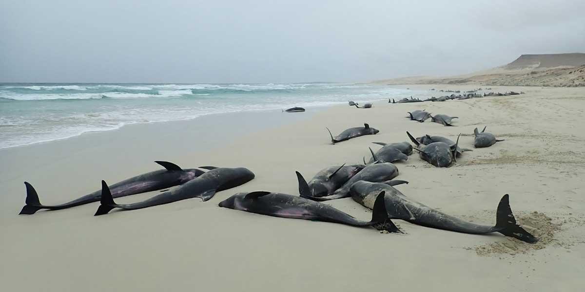 Investigan la misteriosa muerte masiva de delfines en una playa de Cabo Verde
