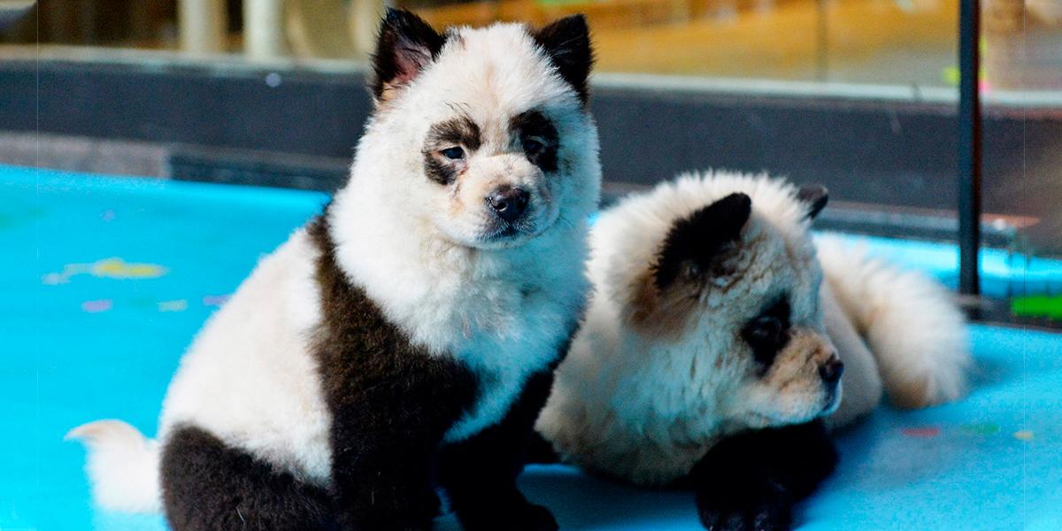 Convertir perros en pandas bebés, la nueva moda perturbadora que estalló todo un debate
