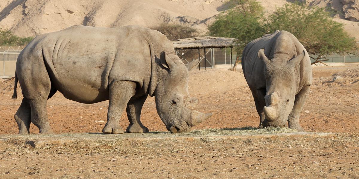 Los rinocerontes podrían desaparecer en Botsuana para 2022