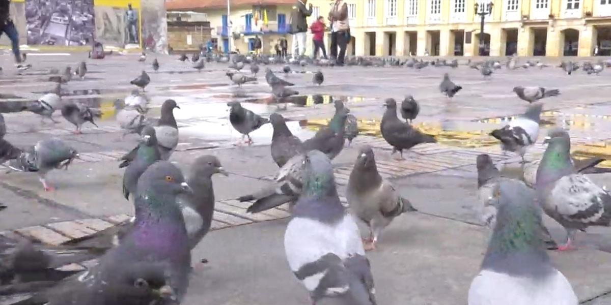 Así es como el Distrito controlará sobrepoblación de palomas en toda Bogotá