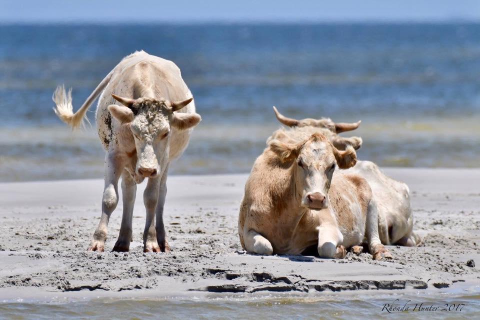 Tres vacas que se llevó el huracán Dorian en septiembre aparecieron vivas semanas después