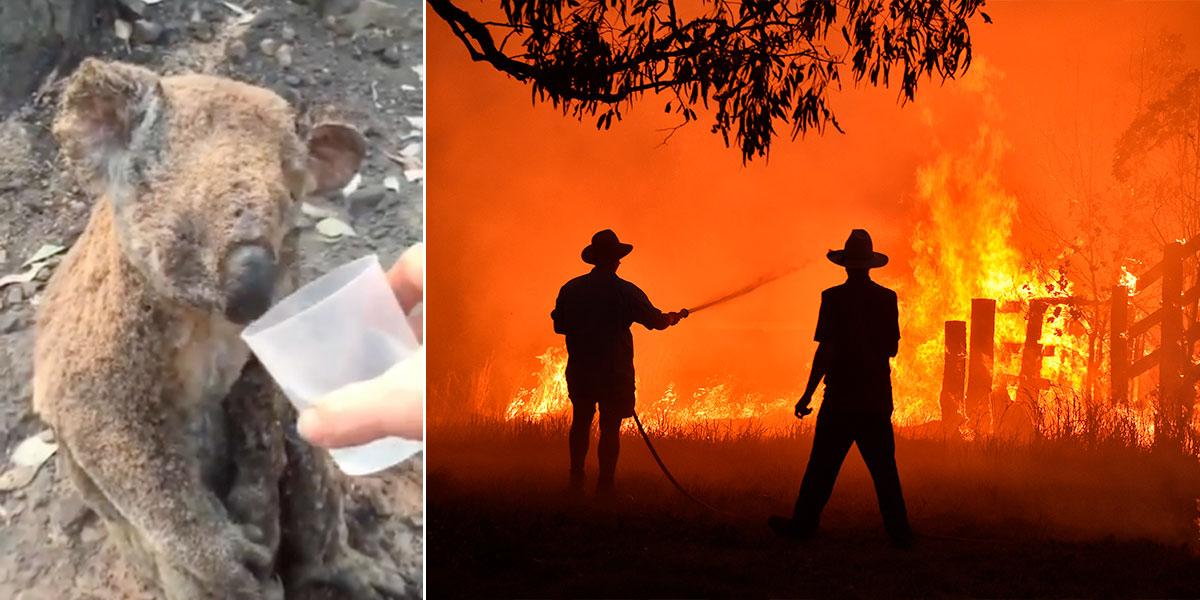 Koala víctima de los incendios en Australia recibe agua y le arruga el corazón al mundo