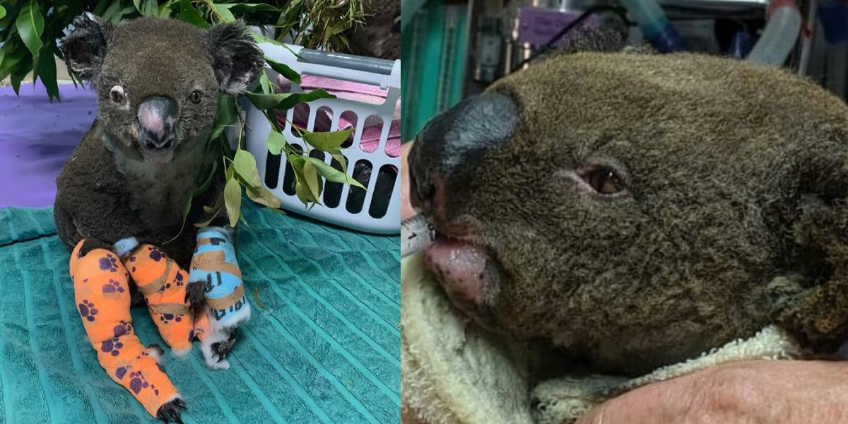 Murió el koala que se volvió viral tras ser rescatado de un incendio en Australia