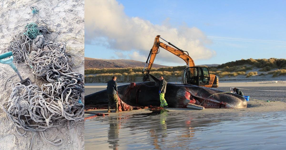 (Fotos) Encuentran más de 100 kilos de basura en el estómago de cachalote muerto