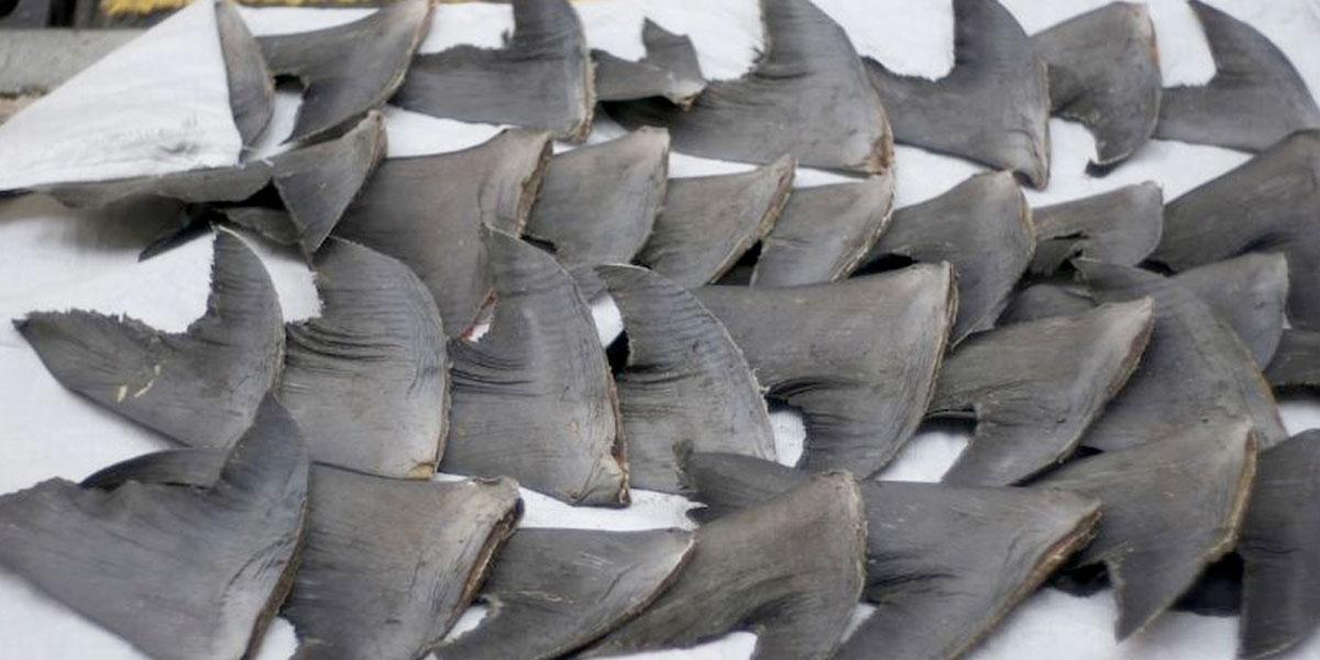 Procuraduría solicitó a MinAgricultura revocar resolución que autoriza pesca de tiburones