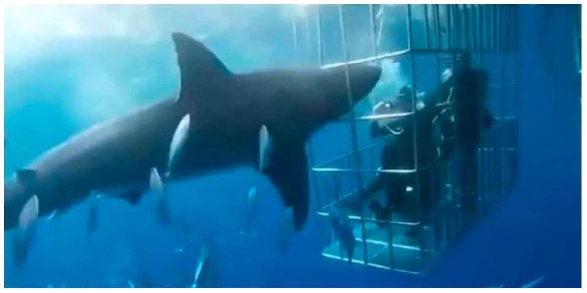 El impactante video del tiburón blanco que murió al quedar atrapado en una jaula de turistas