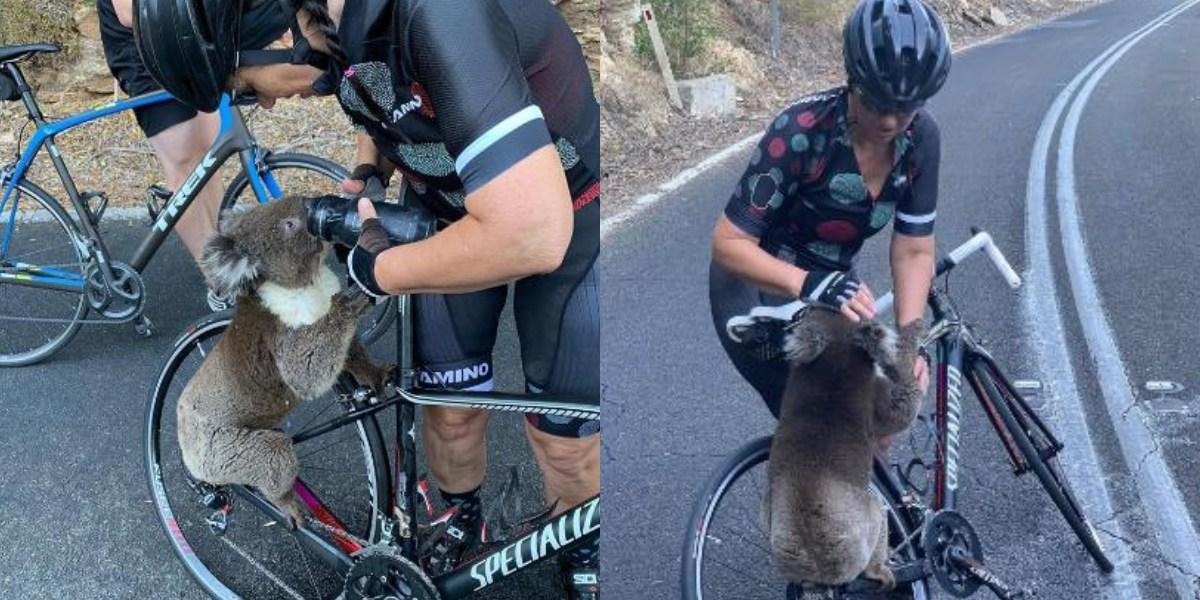 (Video) Ciclista salvó a koala de morir deshidratado en una carretera en Australia